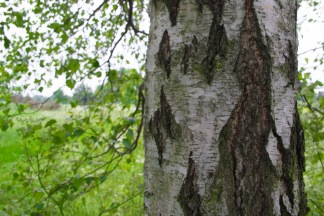 Tree right close up.JPG